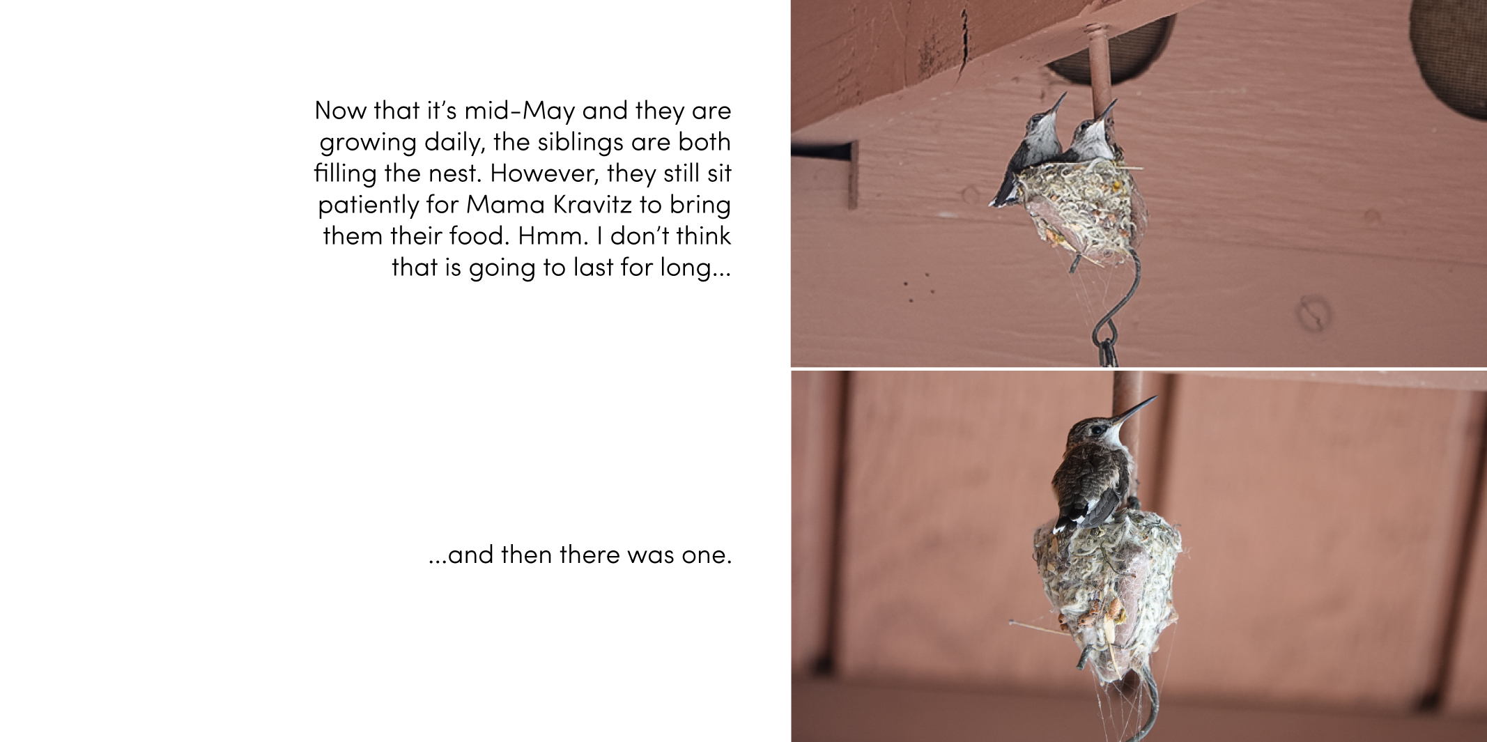 Now that it's mid-May and they are growing daily, the siblings are both filling the nest. However, they still sit patiently for Mama Kravitz to bring them their food. Hmm. I don't think that is going to last for long... and then there was one. (First photo shows both chicks in nest; second photo shows one.)