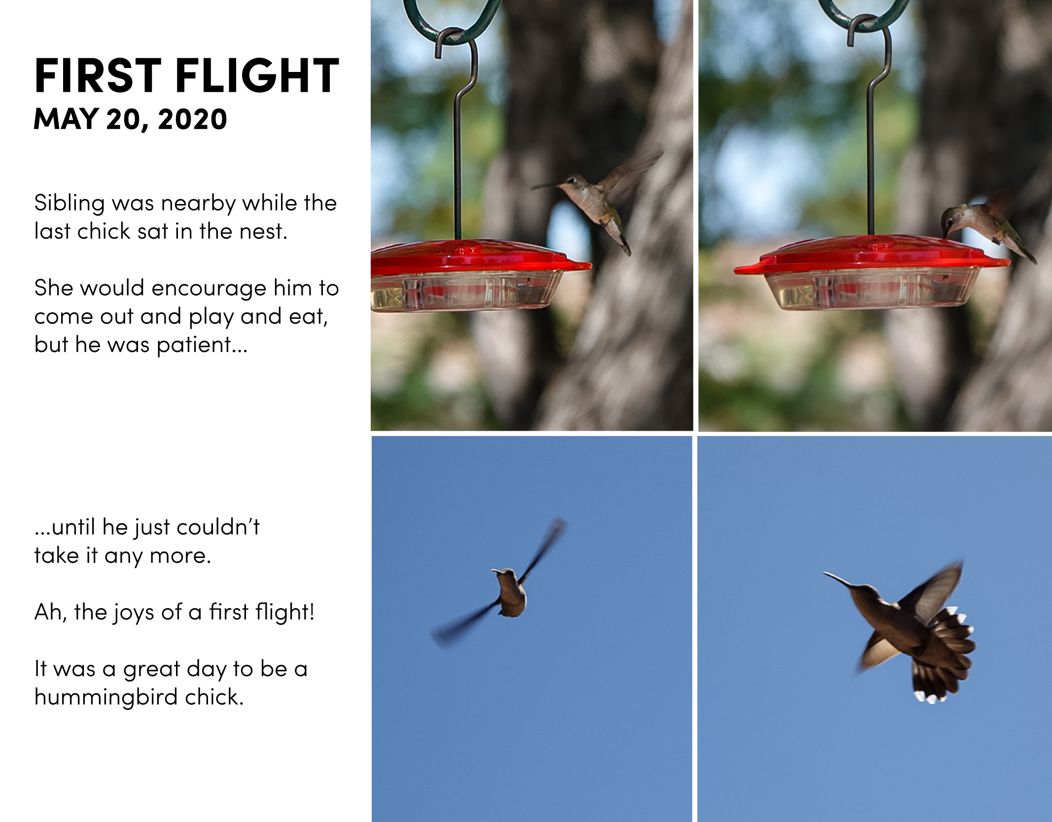 First Flight May 20, 2020. Sibling was nearby while the last chick sat in the nest. She would encourage him to come out and play and eat, but he was patient... (two photos showing chick feeding at hummingbird feeder) ...until he just couldn't take it any more. Ah, the joys of a first flight! It was a great day to be a hummingbird chick (two photos showing chick flying against a blue sky).